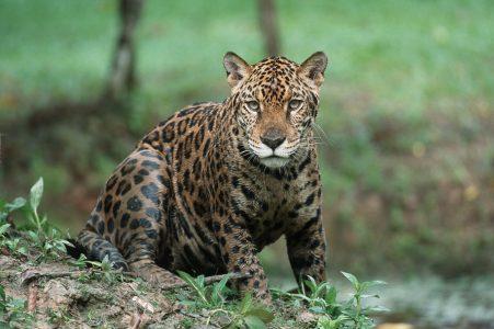 amazon jaguar in mud