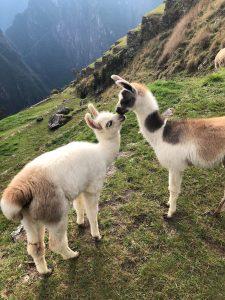 alpacas kissing at machu picchu